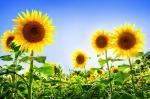 Pohlednice - slunečnice2